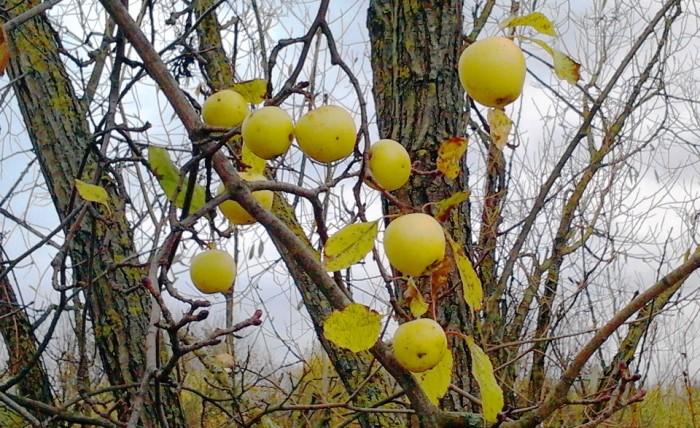 Ябълки през ноември...Спомен за златото на лятото в толкова малки слънца.